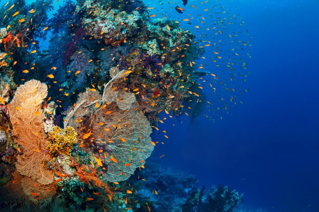 Living Coral - Coral Reef